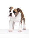 Old english bulldog pup standing Royalty Free Stock Photo