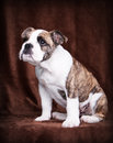 Old english bulldog puppy look up whelp of an lateral sitting Royalty Free Stock Photos