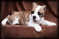 Old english bulldog puppy lying whelp of an in front of a brown background and plays Royalty Free Stock Images