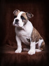 Old english bulldog puppy whelp of an sitting in front of a brown background Royalty Free Stock Photos