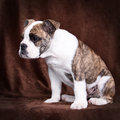 Old english bulldog whelp uncertain of an lateral sitting in front of a brown background Stock Photo