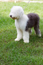 Old english sheep dog standing in green grass fiel Royalty Free Stock Photography