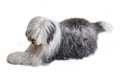Old english sheepdog isolated on white background Royalty Free Stock Photo