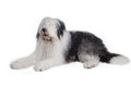 Old english sheepdog isolated on white background Royalty Free Stock Photography