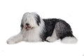 Old english sheepdog isolated on white background Stock Photo
