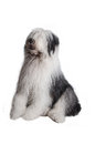 Old english sheepdog isolated on white background Stock Photos