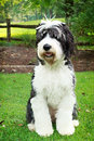 Old English sheepdog standing in grass Royalty Free Stock Images