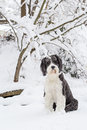 Old english sheepdog standing in the snow black and white a deep a rural setting staring straight at camera with her head Stock Photos