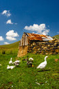 Old farm an barn with ducks on a in the sterkfontein area of south africa Stock Photos
