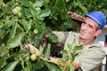 Old farmer with walnut tree bulgarian checking his harvest Stock Images