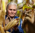 Old female farmer at corn harvest closeup of harvesting Royalty Free Stock Photography