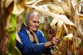 Old female farmer at corn harvest closeup of harvesting Stock Photography