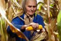 Old female farmer at corn harvest closeup of harvesting Royalty Free Stock Photo