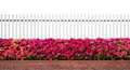 Old fence wood and varicoloured bougainvillea paper flowers isolated Royalty Free Stock Photo