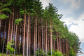 Old fir forest naked trees Royalty Free Stock Photo