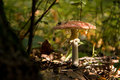 Old fly agaric Stock Photography