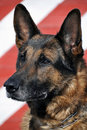 Old German Shepherd Stock Images