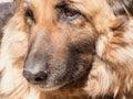 Old German Shepherd profile Royalty Free Stock Photo