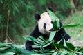 Old giant panda