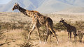 Old giraffe and baby giraffe walking on grass near ngorongoro crater tanzania Royalty Free Stock Photos