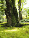 Old gnarled trees and moss green carpet Royalty Free Stock Photos