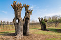 Old gnarled and twisted mulberry trees. Royalty Free Stock Photo