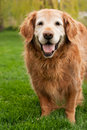Old Golden Retriever Stock Image
