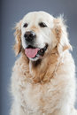 Old golden retriever dog . Stock Photo