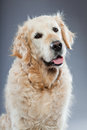 Old golden retriever dog isolated. Royalty Free Stock Image