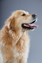 Old golden retriever dog isolated. Stock Photo