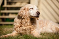 Old golden retriever laying on the grass Royalty Free Stock Photos