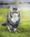 Old gray cat in autumn garden on grass Royalty Free Stock Images