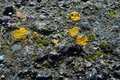 Old gray concrete wall with yellow and dark green moss, grunge texture background Royalty Free Stock Photo