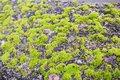 Old gray stone wall with green moss texture background Royalty Free Stock Photo