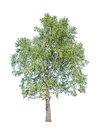 Old green birch tree on white Royalty Free Stock Photo