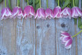 Old grey blue wooden background with pink white tulips border in a row  and empty copy space with wooden spring summer butterflies Royalty Free Stock Photo