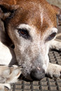 Old grey jack russell a closeup of the head of a sad looking brown white and Stock Images