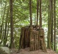 Old Growth Stump acts as a Nurse Log in British Columbia Royalty Free Stock Photo