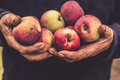 Old hands hold apples