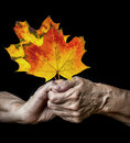 Old hands holdin autumnal leaves on a black background Stock Photography