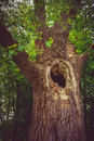 Old hollow tree in the forest Royalty Free Stock Images