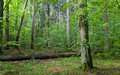 Old hornbeam tree in mixed stand of bialowieza forest and broken pine behind summer rain after Royalty Free Stock Image