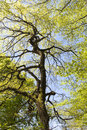 Old horse chestnut tree looking up into a against blue sky on sunny spring day Stock Photography