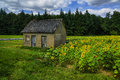 The old house in the field of sunflowers on wood suburb Royalty Free Stock Photo