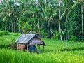 Old house in green rice field.
