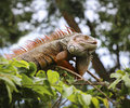 Old iguana on tree chonburi open zoo thailand Stock Photos