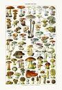 Old Illustration About Mushrooms