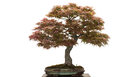 Old japanese maple tree as bonsai Stock Images
