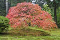 Old japanese maple tree in autumn laced leaf red season with green moss Stock Images