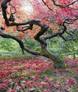 Old japanese maple tree in fall red season with sunlight Royalty Free Stock Photography